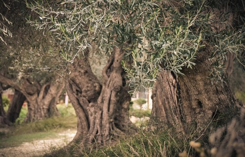 Olive Harvest in Crete: Pick Olives at the Amazing Villas in Crete